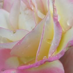 koningin der bloemen