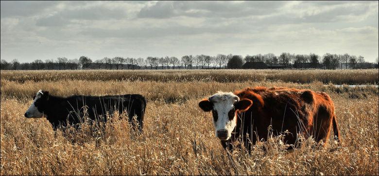 Woudbloem 3 - bedankt voor de reacties op mijn vorige upload.<br /> 2 nieuwsgierige Herefordrunderen in het Ae landschap Woudbloem.<br />