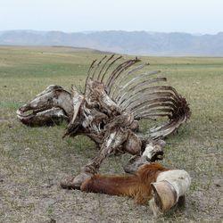 Karkas  op de Mongoolse steppen