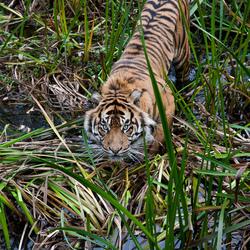 Sumatraanse Tijger Burgers' Zoo