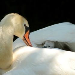 Little Swan *