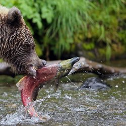 Grizzly vangt zalm