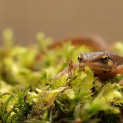 Salamandertje ......