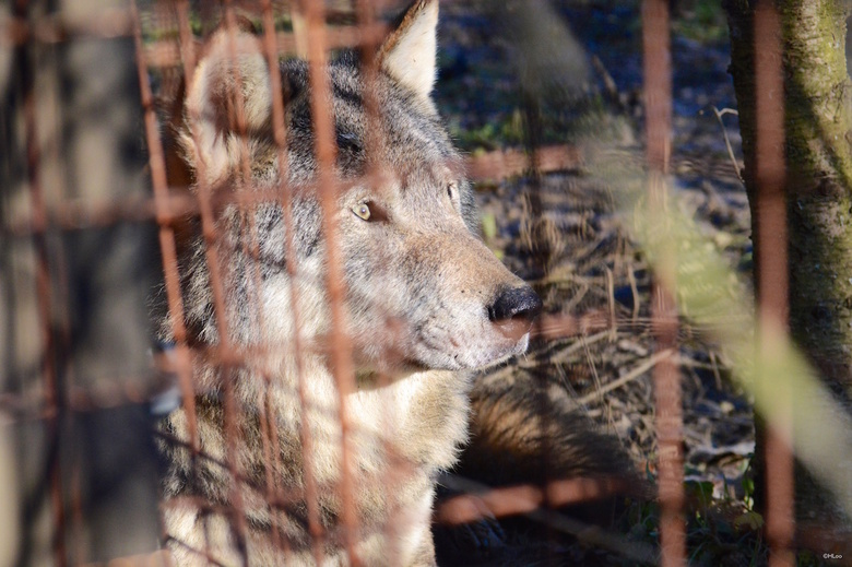 wolf at ease.jpg -