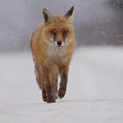 Snowy fox
