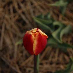 Tulp in Drenthe
