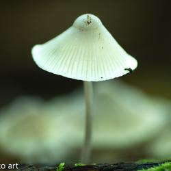 paddenstoel -36