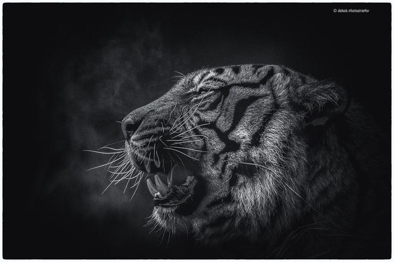 In B&W . - Blijdorp , Sumatraanse tijger
