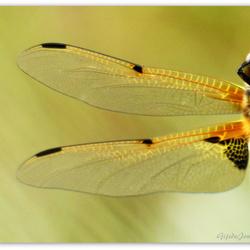 Viervlek libelle