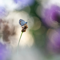 Heidevlindertje bij zonsopkomst