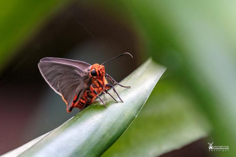 Vlinders aan de Vliet - De Coeliades keithloa, oftewel de red-tab policeman vlinder. Gespot bij Vlinders aan de Vliet in Leidschendam