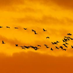 Kraanvogels  op reis