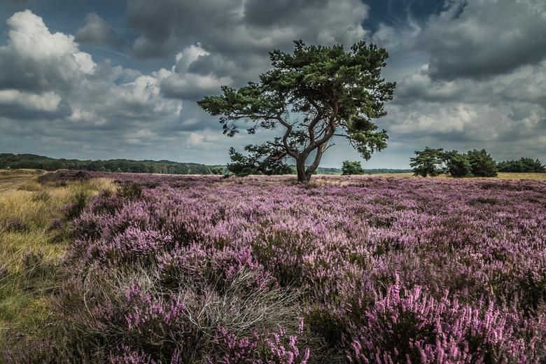 Heide in bloei op de Veluwe  -