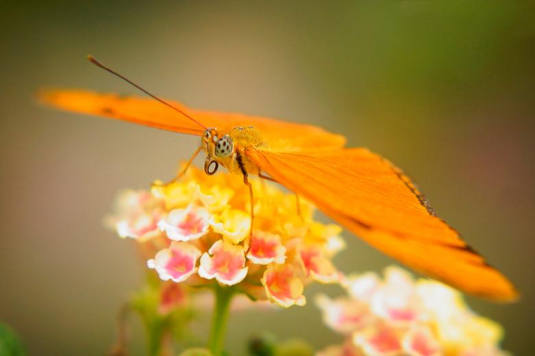 Passiebloemvlinder - Passiebloemvlinder