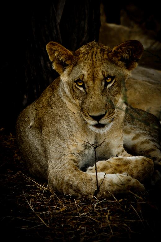 Look at those eyes - Een jonge leeuw in Selous Game Reserve. Ik heb deze foto wel wat bewerking mee gegeven in het kader van contrast, kleur en vignet