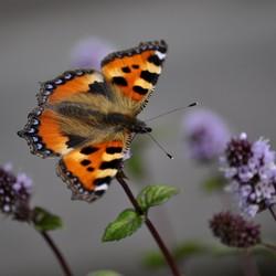 Kleine vos vlinder.