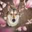 Wolfhond tussen magnolia