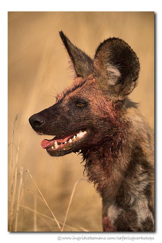Killer Dog - In South Luangwa volgden we een roedel wilde honden op jacht. Efficiënte jagers als ze zijn, haalden ze in een half uur tijd twee puku&#0