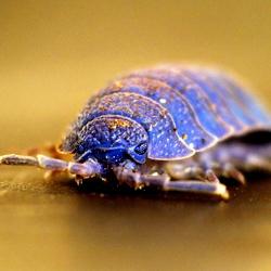 Blauwe Pissebed