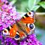 Dagpauwoog op vlinderstruik