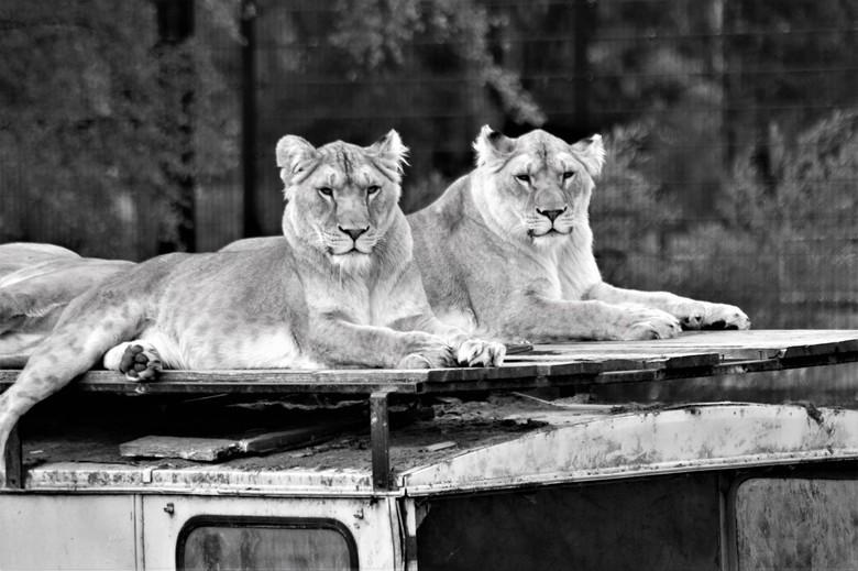 Koning der dieren - De koning der dieren<br /> Beekse Bergen
