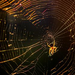 Spin met prooi in tegenlicht   #zoomnluitdaging