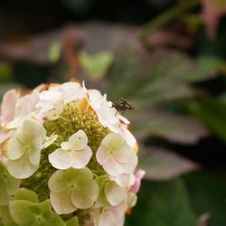 Samen op de bloem van een eikenblad hortensia