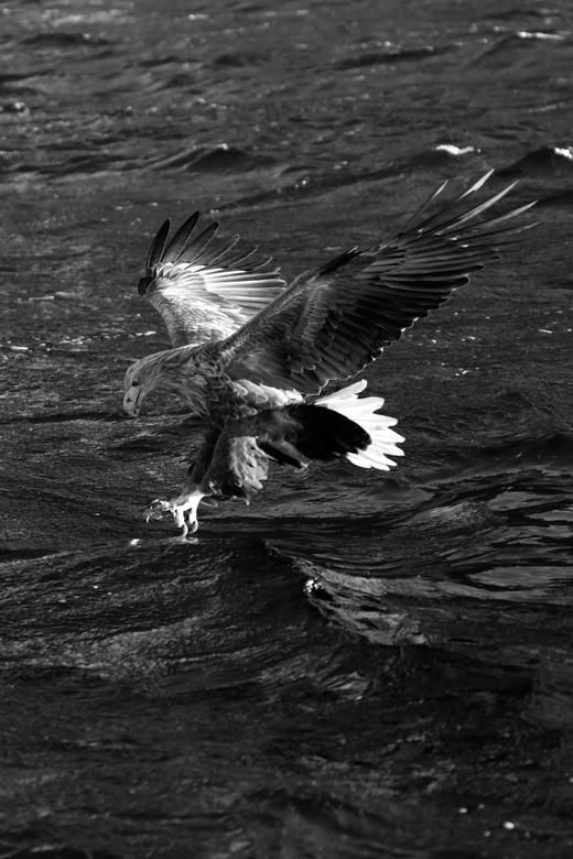 Zeearend - catch the fish