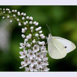 witje op witte bloem