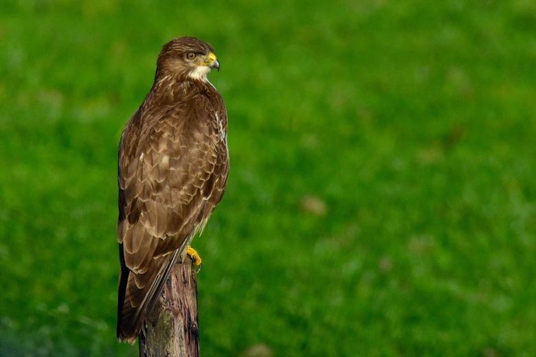 Buizerd - Momenteel de meest geziene roofvogel schat ik, heel leuk om vast te leggen