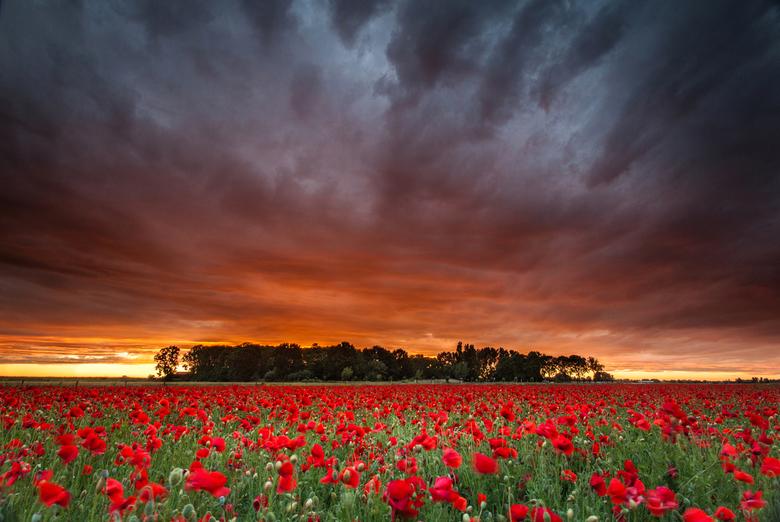 Zonsondergang boven een veld klaprozen.