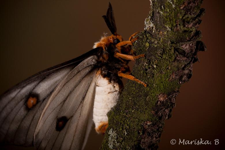 Ceranchia Apollina - Ceranchia Apollina<br /> Nachtvlinder uit Madagascar