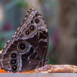 Azuurvlinder (Morpho peleides)