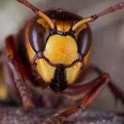 Europese hoornaar (vespa crabro).