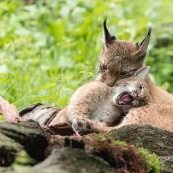 lynx met jong