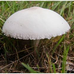 Witte paddenstoel