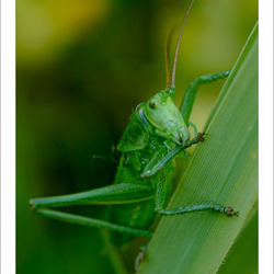 Groene springer