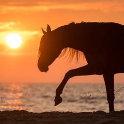Arabian horse at the beach