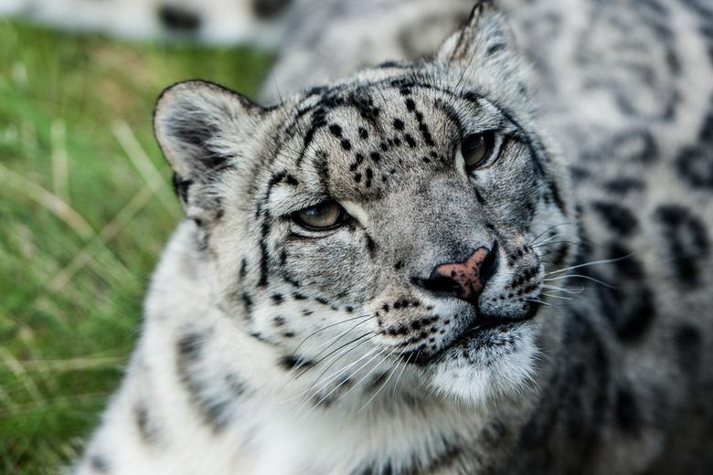 Sneeuw luipaard - Sneeuw luipaard