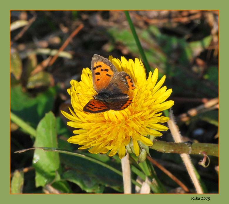 Kleine Vuurvlinder - hartelijk dank weer voor alle leuke reacties op mijn poezensnuitje.<br /> <br /> Groet,<br /> Koba