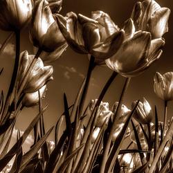 Tulpen HDR sepia