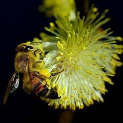 honingbij