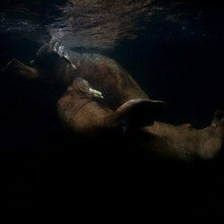 spelende walrussen