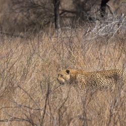Luipaard in zijn natuurlijke omgeving