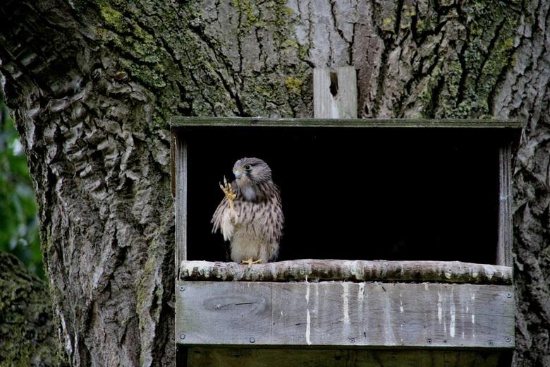 IMG_7867. Jonge torenvalk in nestkast  - Hallo fotograaf en alle kijkers op Zoom !<br /> <br /> Alsof deze jonge torenvalk me begroete vanmiddag. Ko