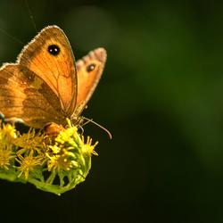 Een van de vele vlindertjes in onze tuin ...