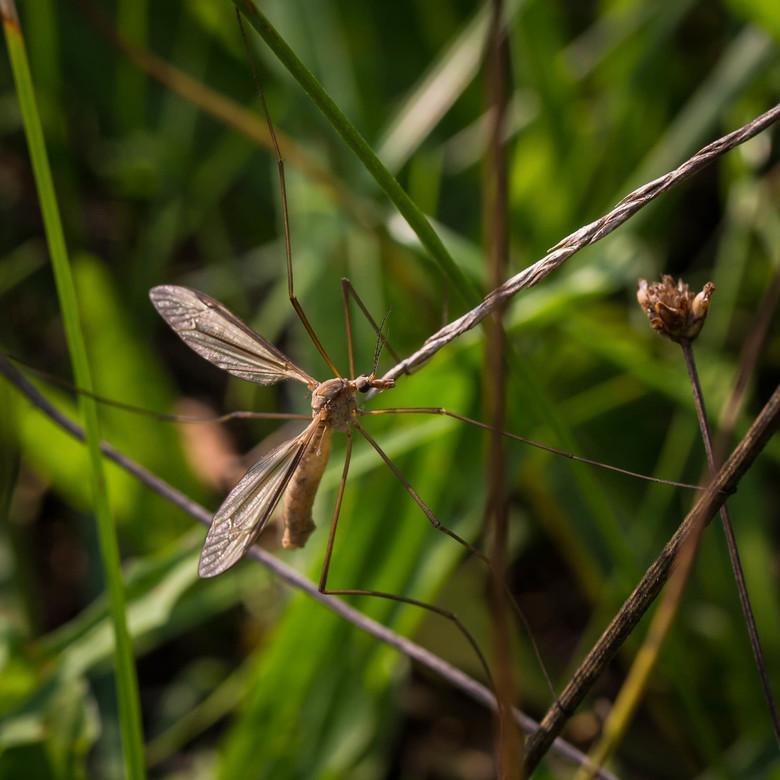 Langpootmug - Tussen de grassprieten