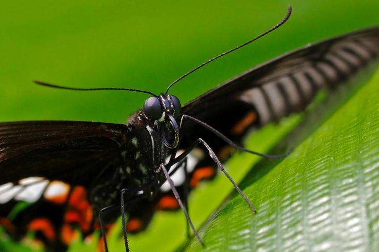 Vlinder - Een macro van een vlinder geschoten op 3 juli 2011 in Artis. Mijn vrouw en ik hebben een jaarkaart en gaan graag dagjes naar de dierentuin o