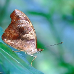 Catonephele numilia (vrouwtje)