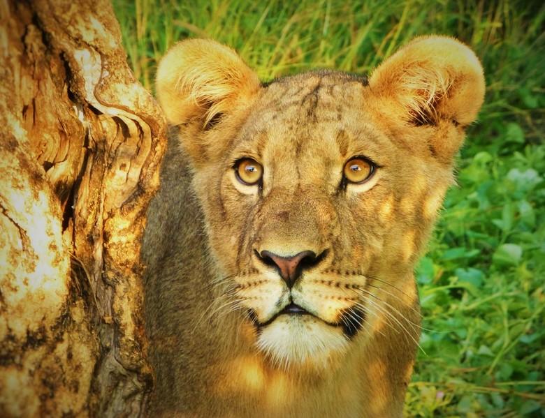 Gouden Uur - Letterlijk en figuurlijk. We hebben het geluk om tijdens het ochtendgloren een grote leeuwenfamilie te treffen. Jonkies, neven en nichten